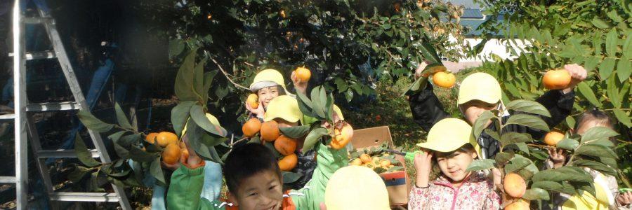 柿の収穫(年長児)