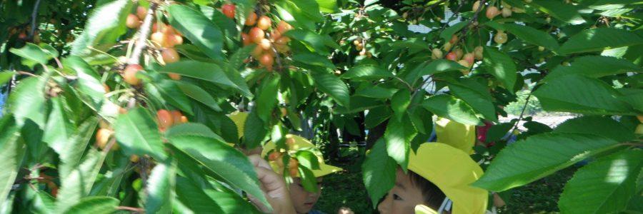さくらんぼを収穫🍒